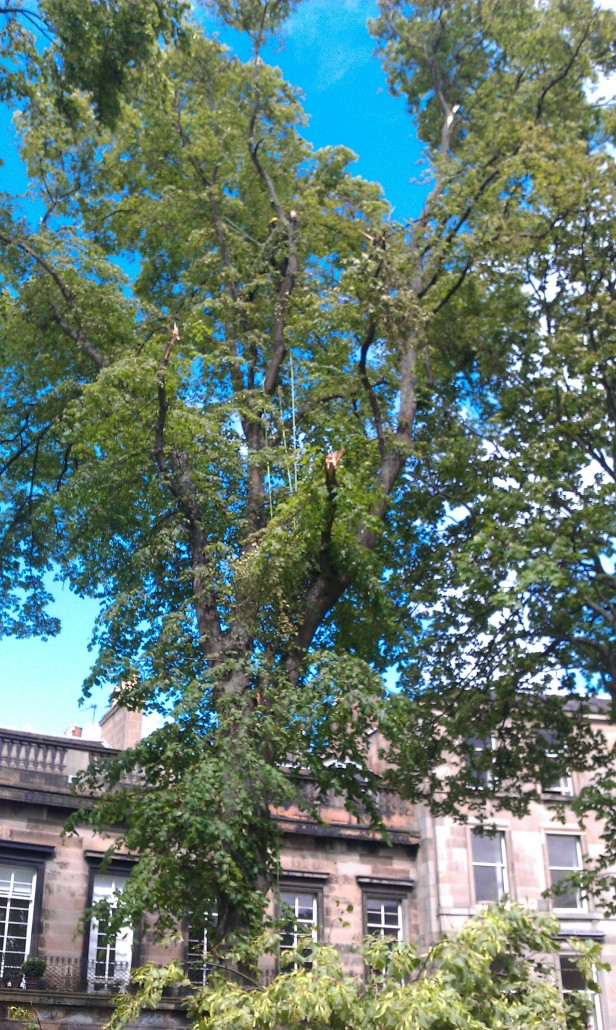 Crown Cleaning a storm damaged Lime tree in Royal Circus Edinburgh