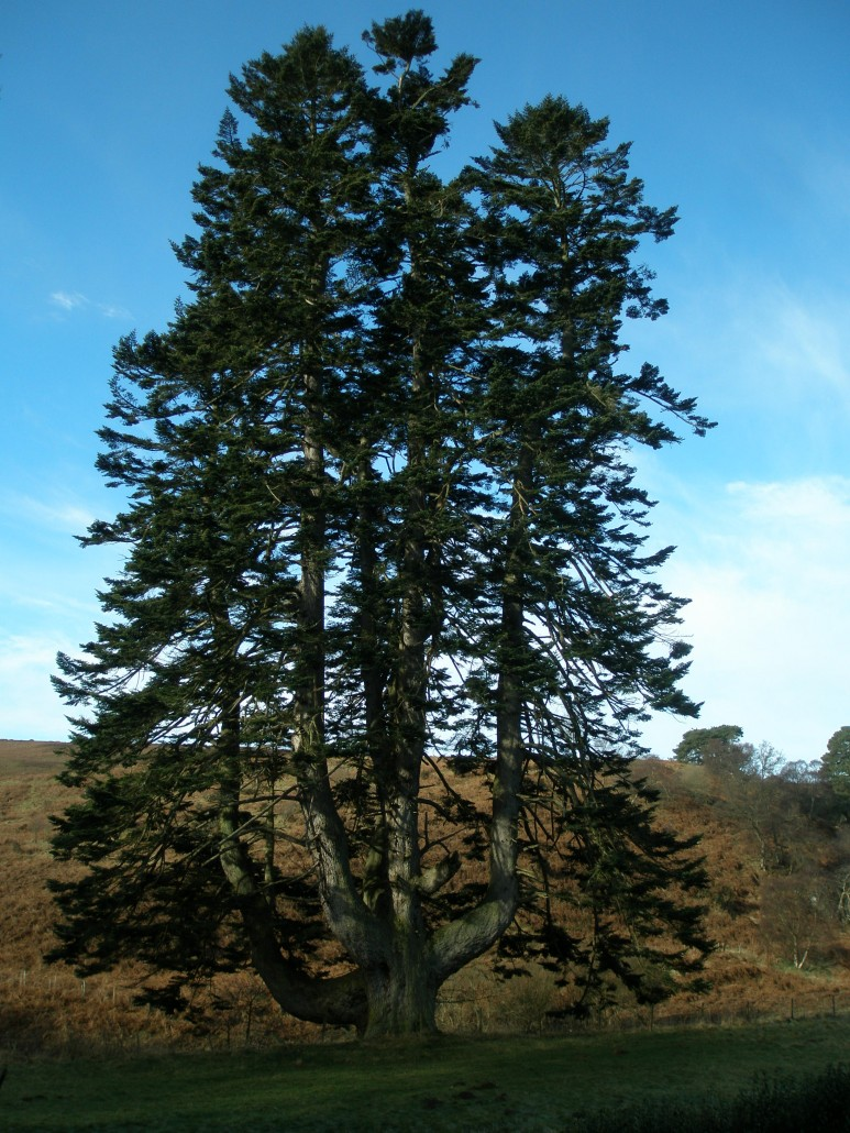 A 200 year old Silver fir in the Borders.