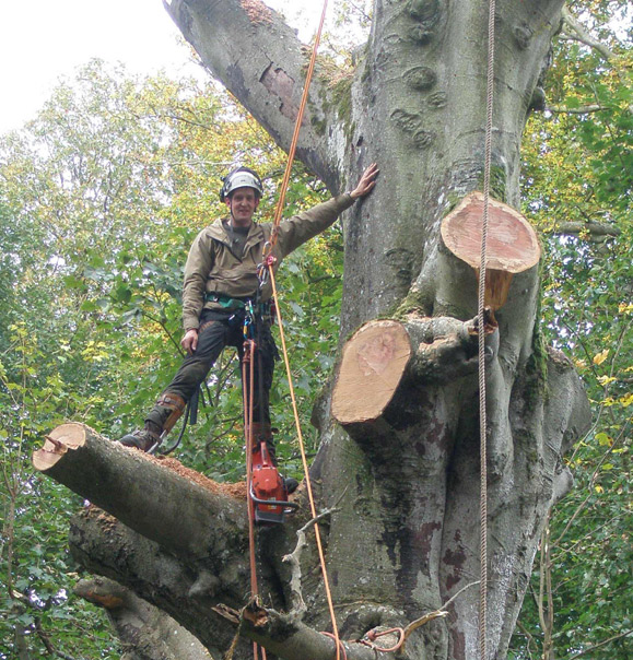 Tree surgeon Tom Dixon Sectional Felling in Midlothian.