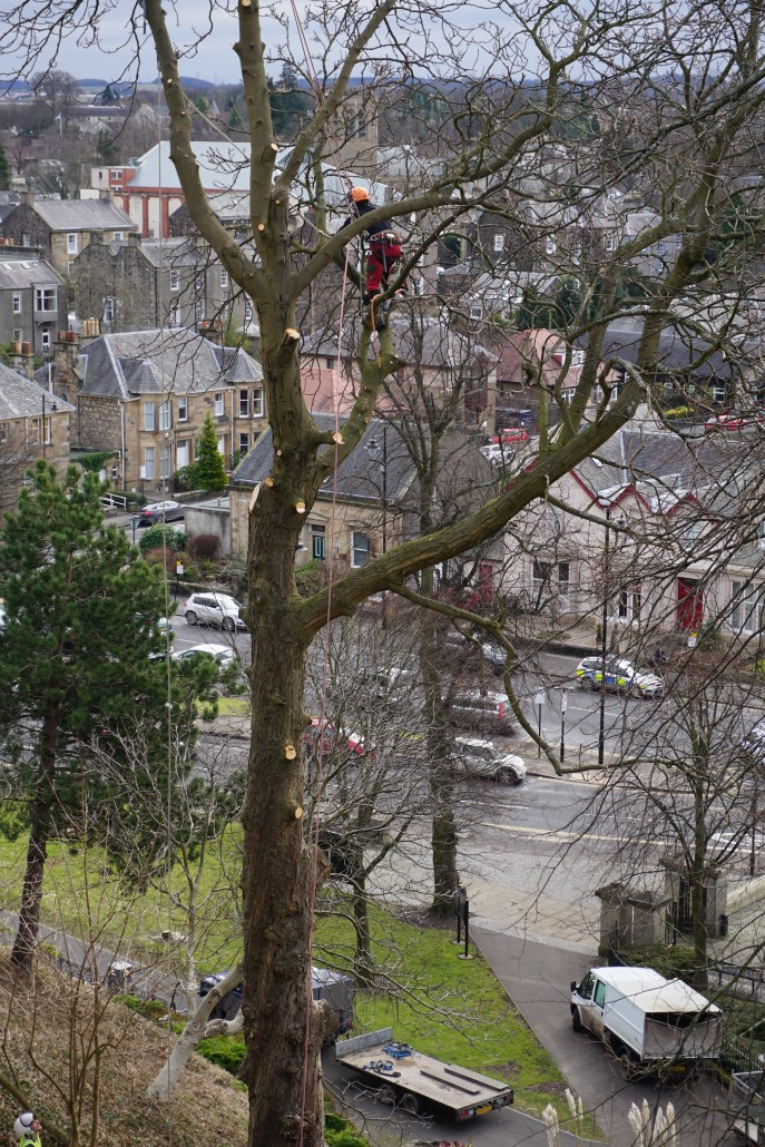 Felling a large horse chestnut tree at Stirling Castle