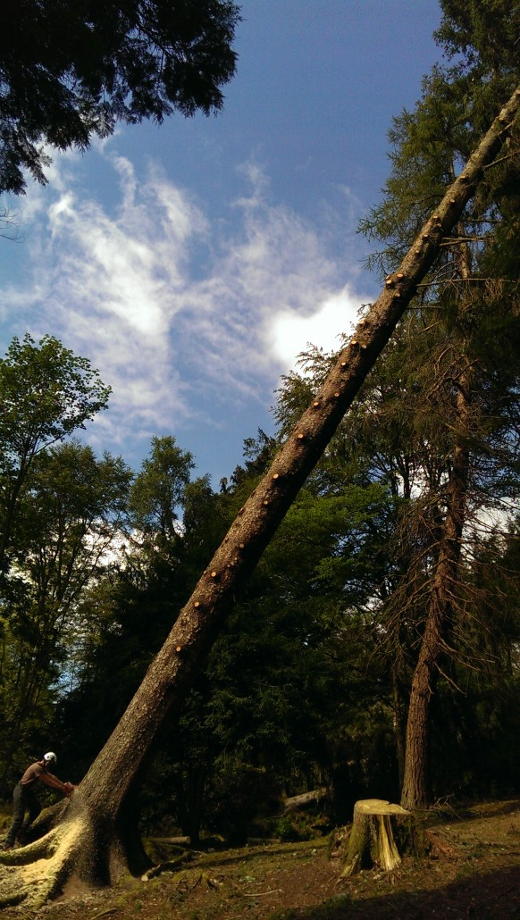 Felling a large hung up Perthshire Spruce.