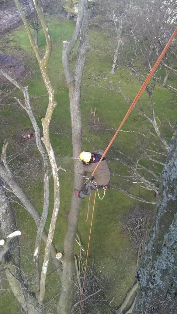 A tree surgeon fells a tree in Morningside