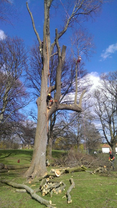 Large tree being felled in Midlothian.