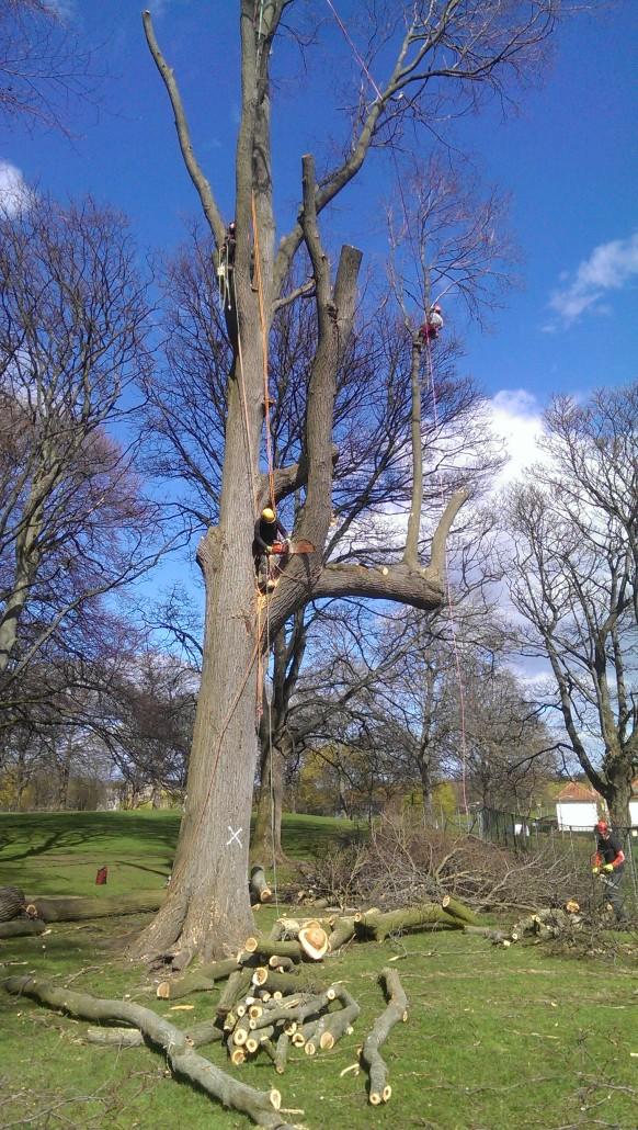 Large tree being felled in Midlothian.