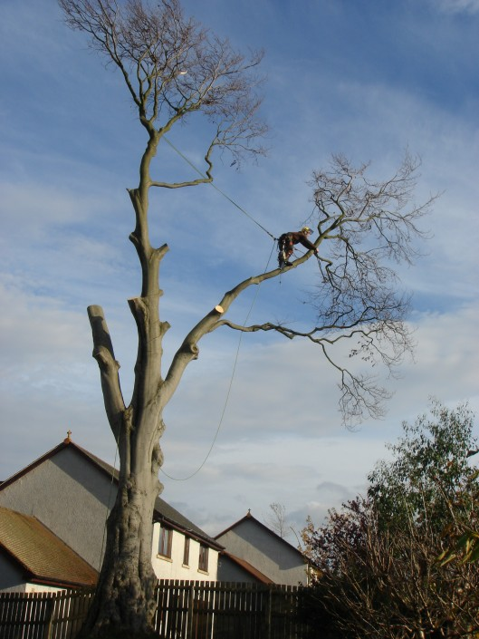 Tree surgeon Felling tree in Penicuick midlothian.