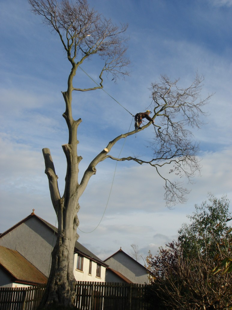Tree surgeon Felling tree in Penicuick midlothian.