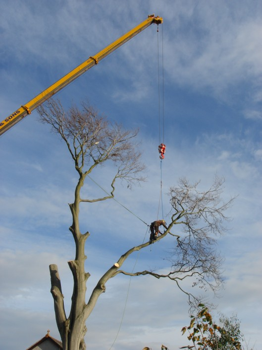Our tree surgeon attaching the branch to the crane.