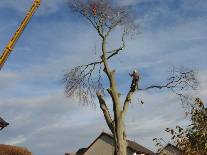 Another section being taken off the tree by Arborist TD tree & Land Services