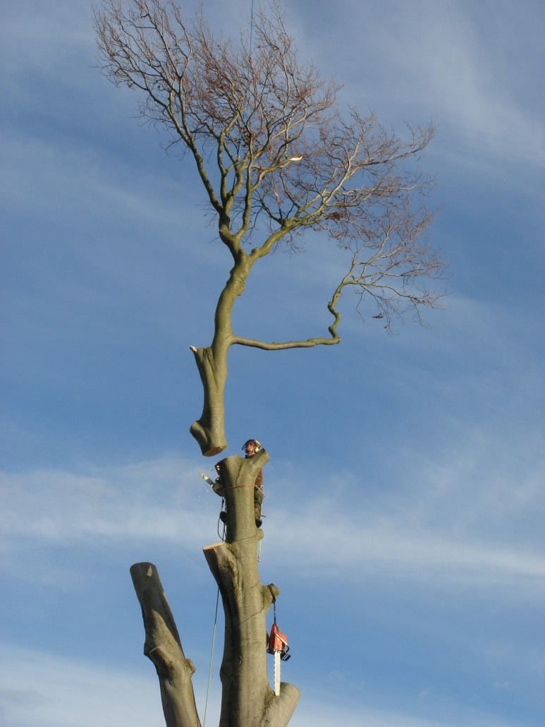 The top of the tree coming off as the tree surgeon looks on