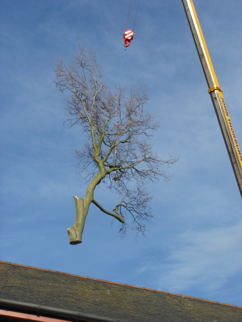 Craning the tree over the house.