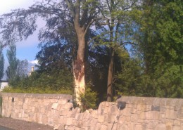 An included sycamore which tore out damaging a wall at Gogar, Edinburgh.