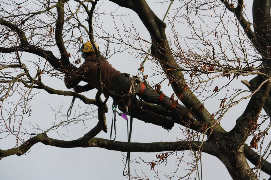 A tree surgeon leaning out on a branch to attach the sling.
