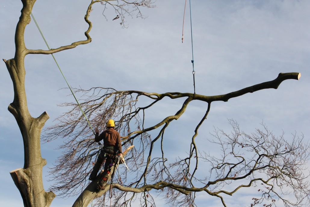 One of the lateral branches expertly balanced by tree surgeon Andrew.