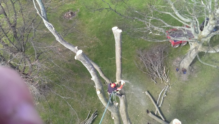Tree surgeon Malcolm Roy felling a tree in edinburgh.