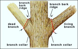 Correct tree pruning.