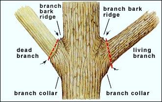 Correct tree pruning.