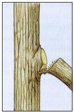 Bark Ripping is a source of infection in trees.