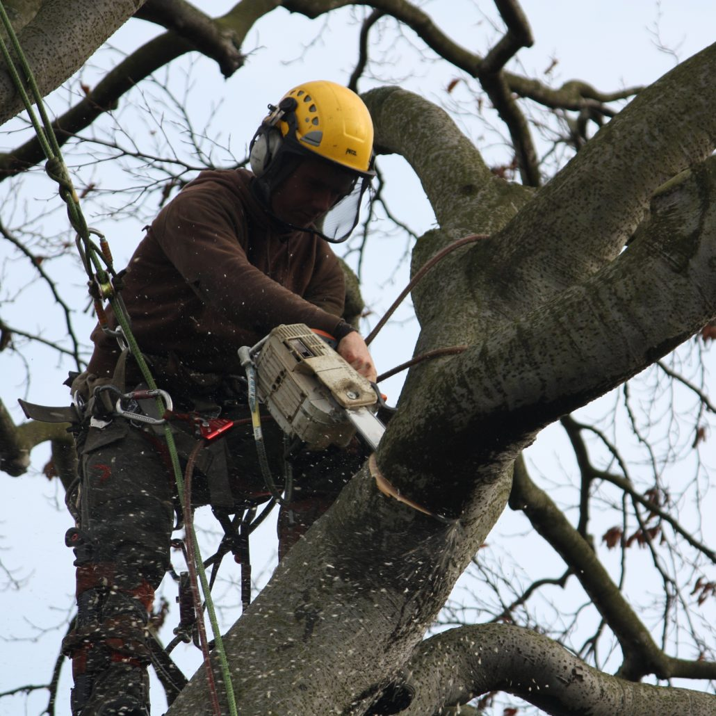 Tree surgeon in North Berwick taking one of the horizontal limbs off.